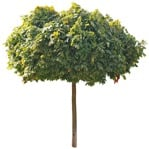 Cut out Tree Acer Platanoides Globosum 0011 | MrCutout.com