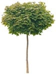 Cut out Tree Acer Platanoides Globosum 0012 | MrCutout.com