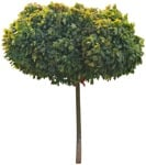Cut out Tree Acer Platanoides Globosum 0013 | MrCutout.com