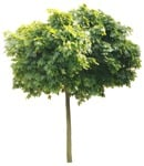 Cut out Tree Acer Platanoides Globosum 0015 | MrCutout.com