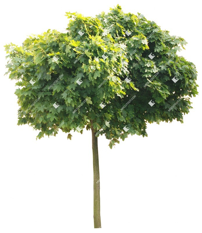 Cut out Tree Acer Platanoides Globosum 0015 preview