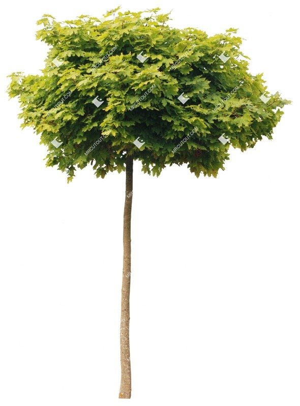 Cut out Tree Acer Platanoides Globosum 0016 preview