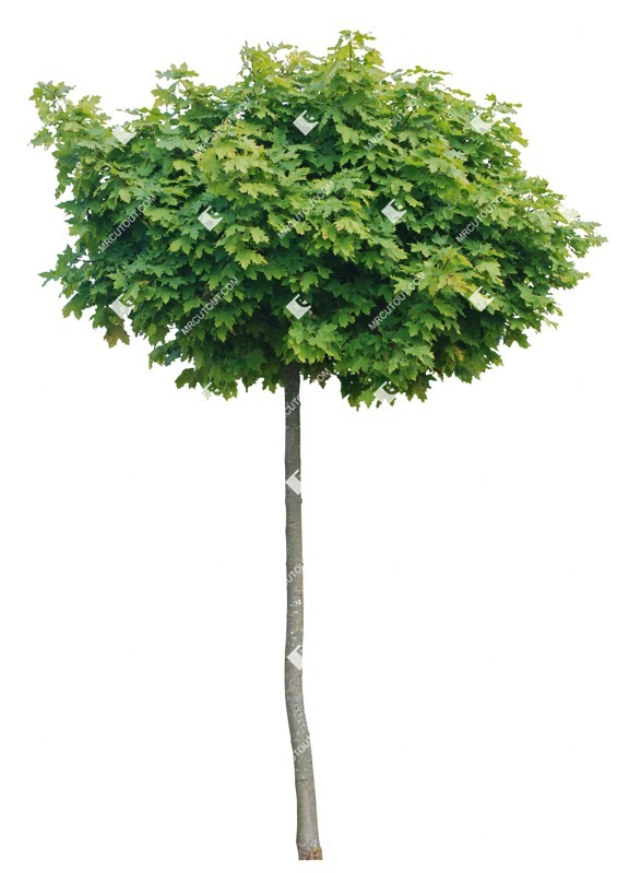 Cut out Tree Acer Platanoides Globosum 0017 preview