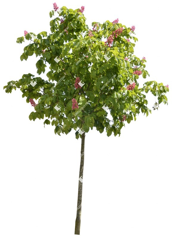 Cut out Tree Aesculus Carnea 0001 preview