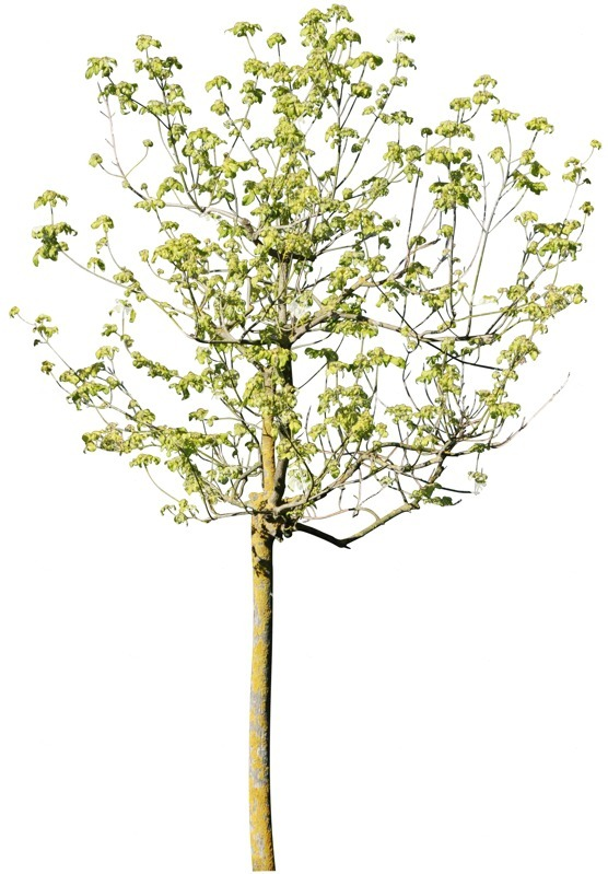Cut out Tree Aesculus Hippocastanum 0004 preview