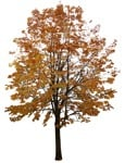 Cut out Tree Aesculus Hippocastanum 0005 | MrCutout.com