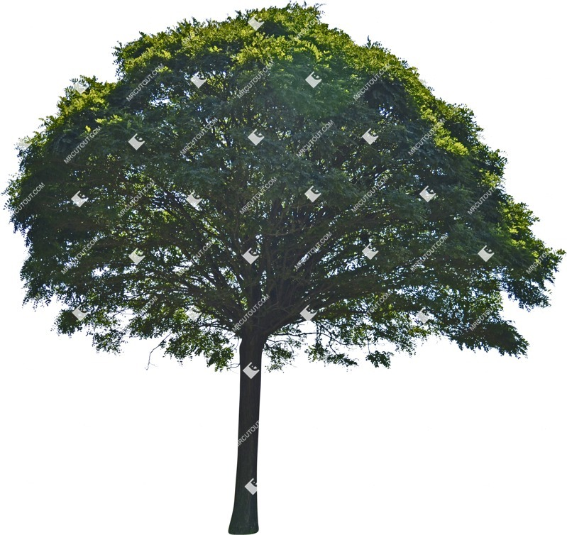 Cut out Tree Ailanthus Altissima 0003 preview