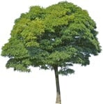 Cut out Tree Ailanthus Altissima 0004 | MrCutout.com