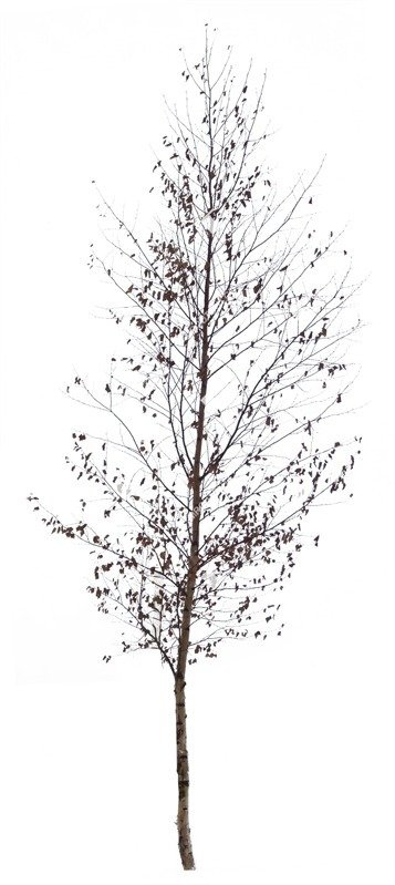 Cut out Tree Betula Pendula 0003 preview
