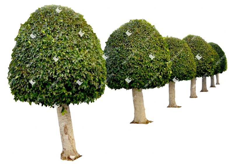 Cut out Tree Buxus Sempervirens 0004 preview