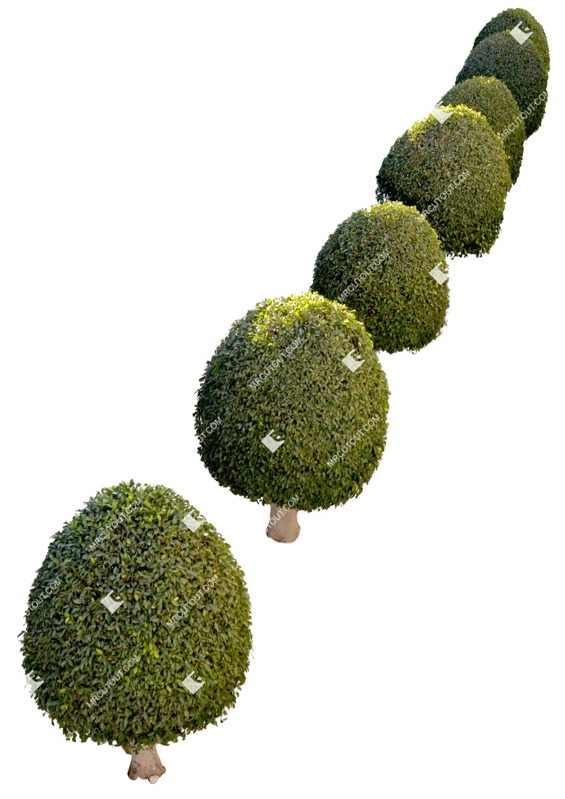 Cut out Tree Buxus Sempervirens 0005 preview