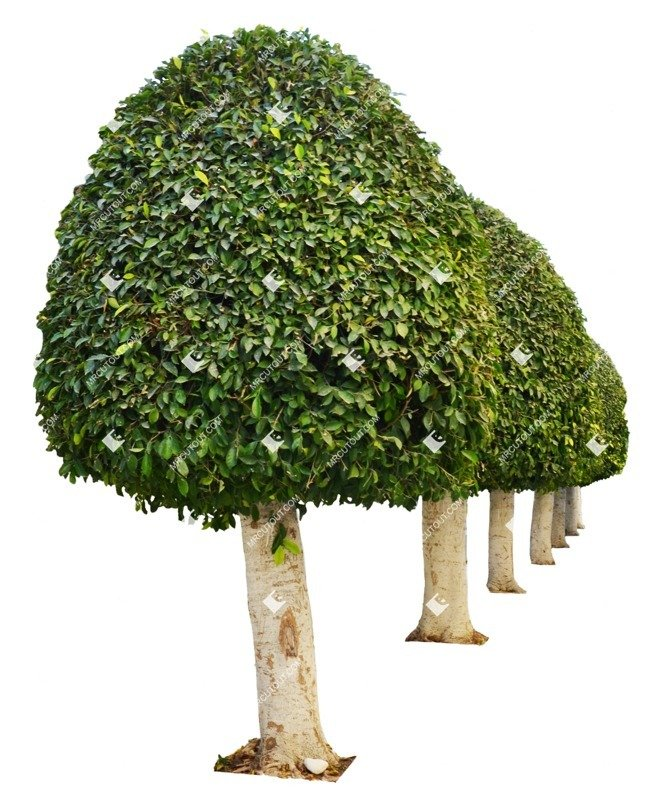 Cut out Tree Buxus Sempervirens 0006 preview