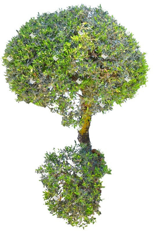 Cut out Tree Buxus Sempervirens 0009 preview