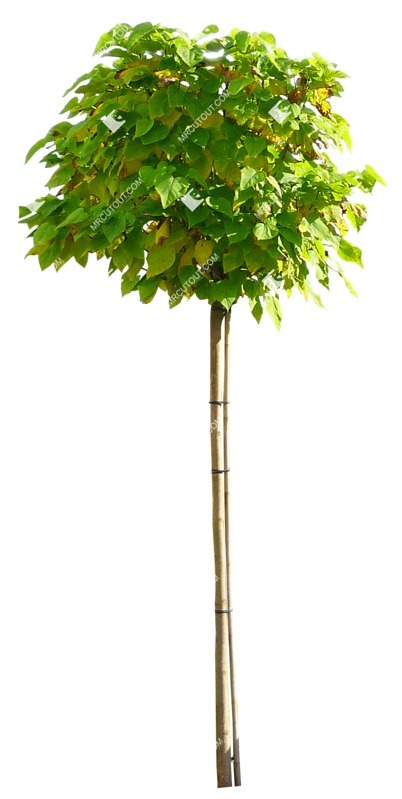 Cut out Tree Catalpa Bignonioides Nana 0006 preview