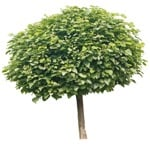 Cut out Tree Catalpa Bignonioides Nana 0011 | MrCutout.com