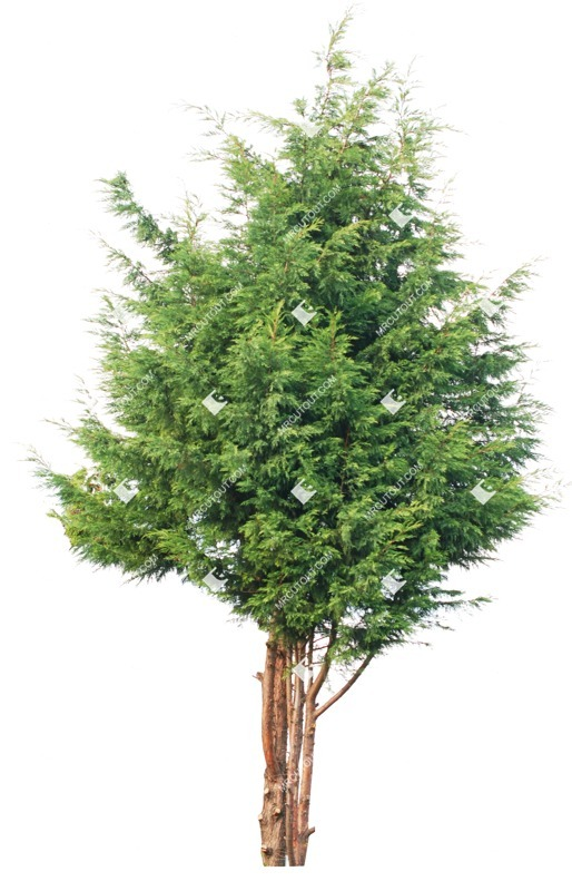 Cut out Tree Chamaecyaris Lawsoniana 0001 preview
