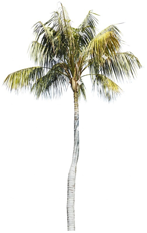 Cut out Tree Cocos Nucifera 0003 preview