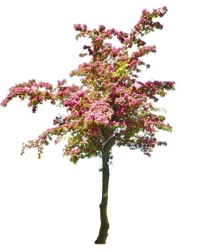 Cut out Tree Crataegus Media Pauls Scarlet 0001 preview