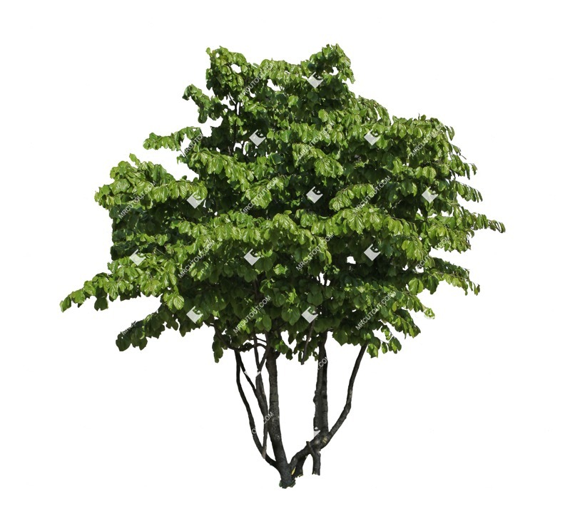 Cut out Tree Fagus Sylvatica 0002 preview