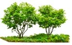 Cut out Tree Fagus Sylvatica 0004 | MrCutout.com