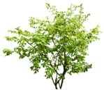 Cut out Tree Fagus Sylvatica 0005 | MrCutout.com