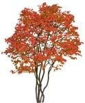 Cut out Tree Fagus Sylvatica 0007 | MrCutout.com