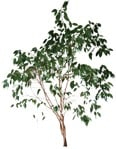 Cut out Tree Ficus Benjamina 0002 | MrCutout.com