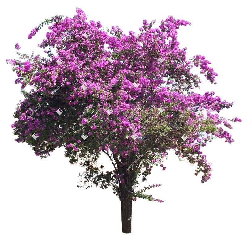 Cut out Tree Lagerstroemia Indica 0001
