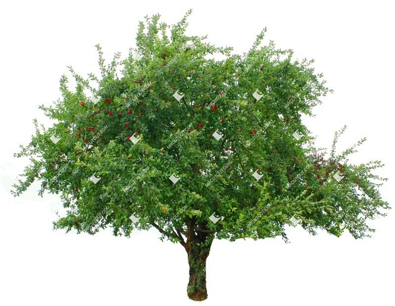 Cut out Tree Malus Sylvestris 0002