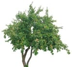 Cut out Tree Malus Sylvestris 0003 | MrCutout.com