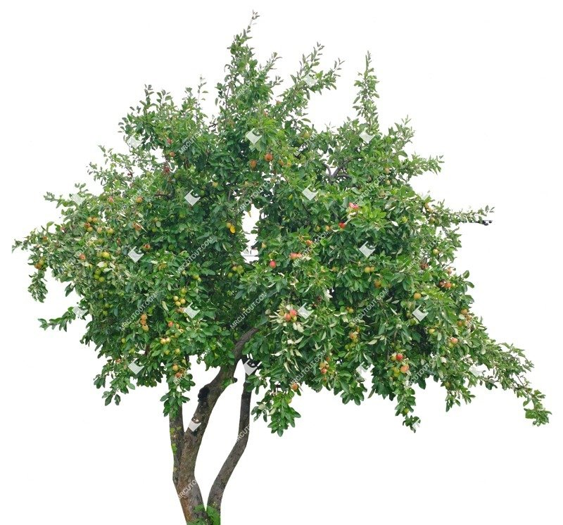 Cut out Tree Malus Sylvestris 0003 preview