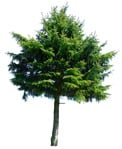 Cut out Tree Picea Abies 0001 | MrCutout.com