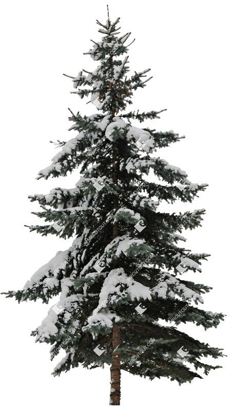 Cut out Tree Picea Abies 0002