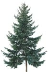 Cut out Tree Picea Abies 0003 | MrCutout.com