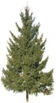 Cut out Tree Picea Abies 0004 | MrCutout.com