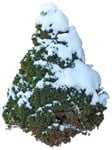 Cut out Tree Picea Glauca Conica 0002 | MrCutout.com