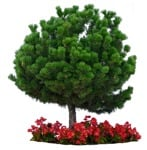 Cut out Tree Potted Tree Pinus Mugo 0001 | MrCutout.com