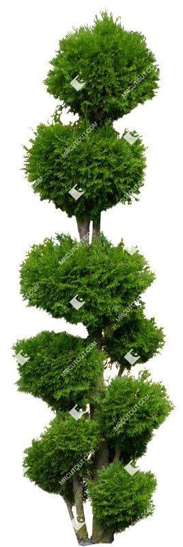 Cut out Tree Potted Tree Thuja Occidentalis 0007