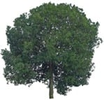 Cut out Tree Quercus Robur 0001 | MrCutout.com