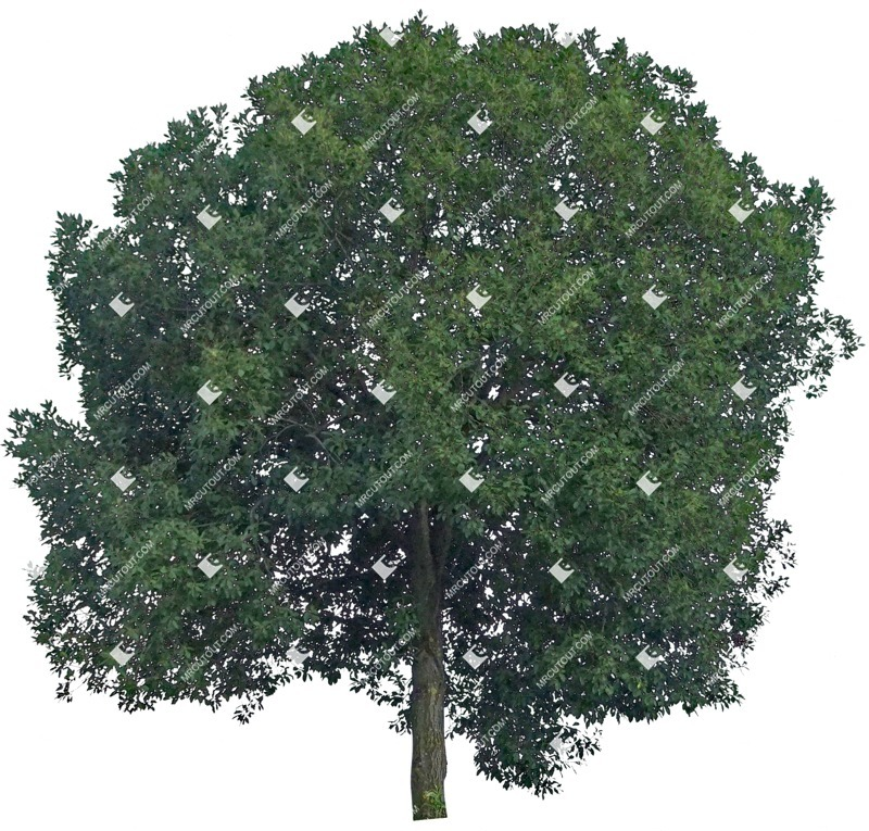 Cut out Tree Quercus Robur 0001 preview