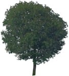 Cut out Tree Quercus Robur 0002 | MrCutout.com