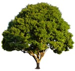 Cut out Tree Quercus Robur 0003 | MrCutout.com