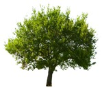 Cut out Tree Quercus Robur 0004 | MrCutout.com