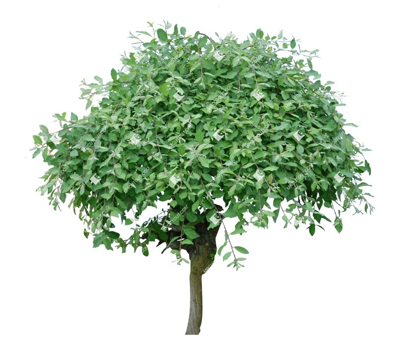 Cut out Tree Salix Caprea Pendula 0001