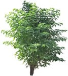 Cut out Tree Sambucus Nigra 0001 | MrCutout.com