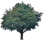 Cut out Tree Sorbus Aria 0001 | MrCutout.com
