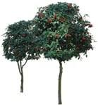 Cut out Tree Sorbus Aria 0003 | MrCutout.com