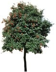 Cut out Tree Sorbus Aria 0004 | MrCutout.com