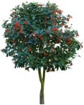 Cut out Tree Sorbus Aria 0008 | MrCutout.com