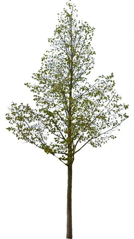 Cut out Tree Tilia Cordata 0002 preview